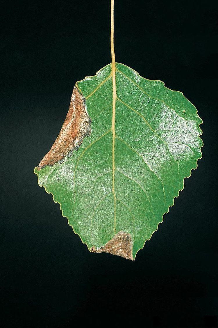 Ancylis laetana