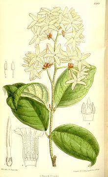 Ancylobothrys httpsuploadwikimediaorgwikipediacommonsthu