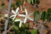 Ancylobothrys capensis httpsuploadwikimediaorgwikipediacommonsthu