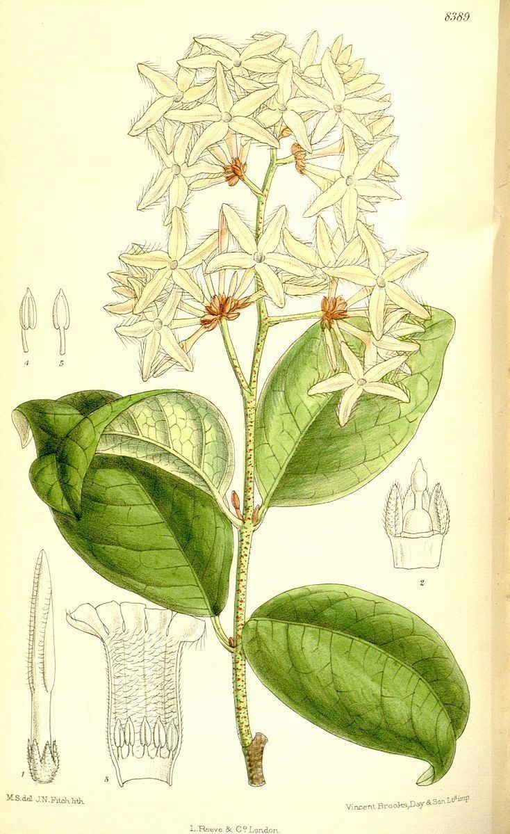 Ancylobothrys petersiana