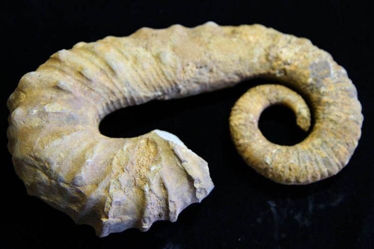 Ancyloceras Hetromorph Ancyloceras