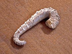 Ancyloceras matheronianum httpsuploadwikimediaorgwikipediacommonsthu
