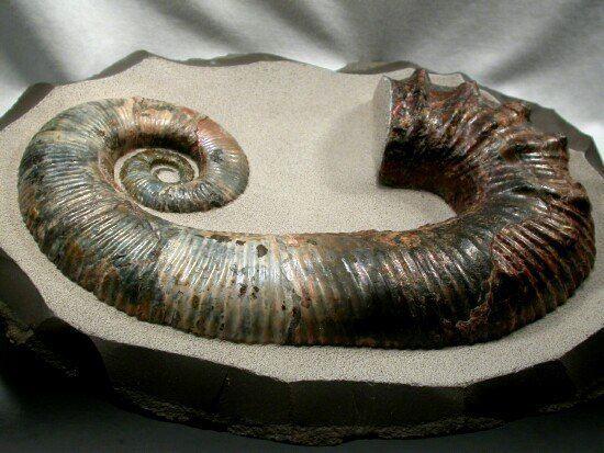 Ancyloceratina Heteromorph Ammonites