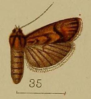 Ancylodes argentescens