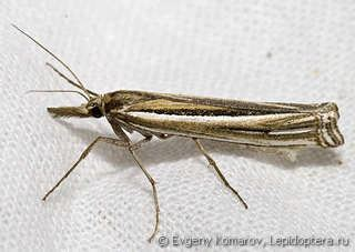 Ancylolomia insectaproimages3204893jpg