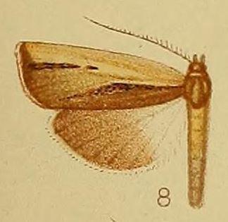 Ancylolomia endophaealis