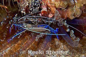 Ancylomenes pedersoni Pederson Cleaner Shrimp Periclimenes pedersoni
