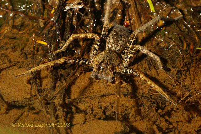 Ancylometes Gallery Wandering Spiders Amazon
