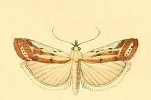 Ancylosis cinnamomella