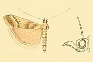Ancylosis imitella