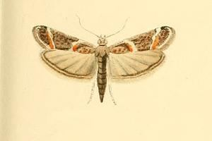Ancylosis samaritanella