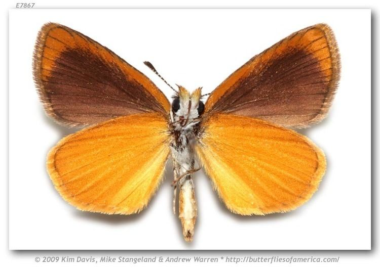 Ancyloxypha numitor Ancyloxypha numitor pinned specimens