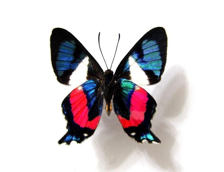 Ancyluris Ancyluris formosissima