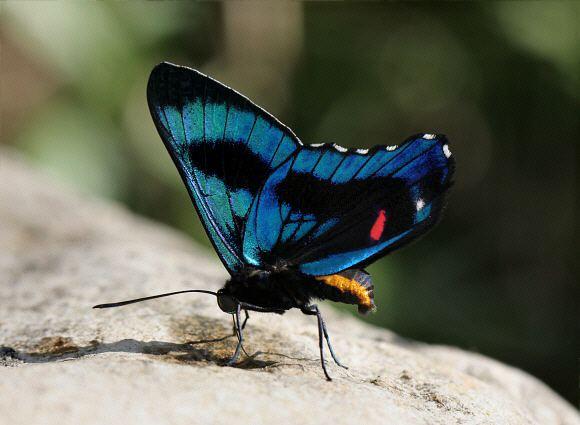 Ancyluris Butterflies of Amazonia Ancyluris etias