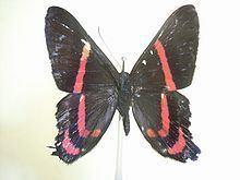 Ancyluris meliboeus httpsuploadwikimediaorgwikipediacommonsthu
