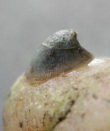 Ancylus fluviatilis httpsuploadwikimediaorgwikipediacommonsthu
