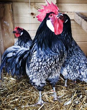 Andalusian chicken Heritage Poultry Redesign Test