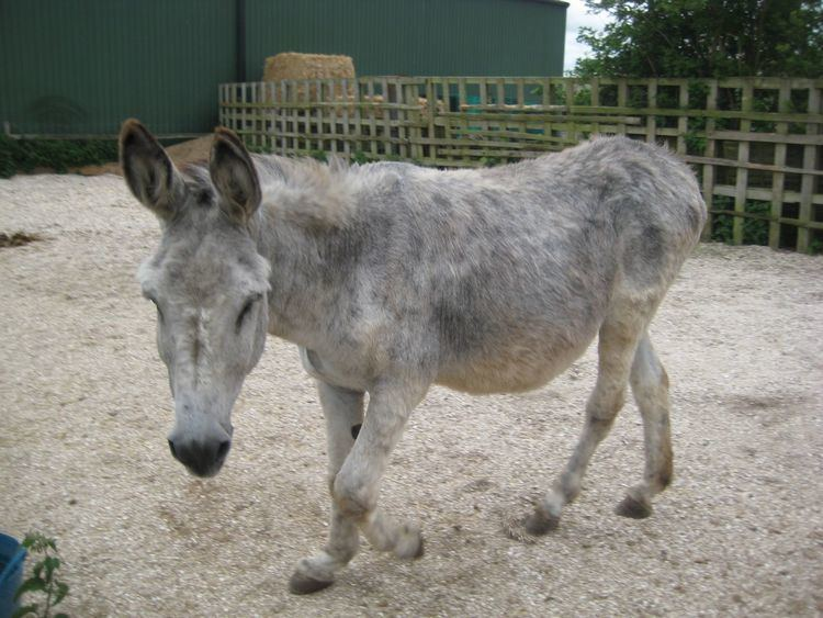 Andalusian donkey ANDALUSIAN DONKEY Spalding Lincolnshire Pets4Homes