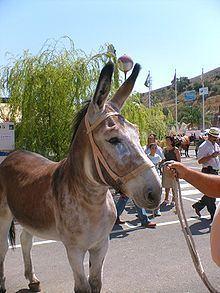 Andalusian donkey httpsuploadwikimediaorgwikipediacommonsthu