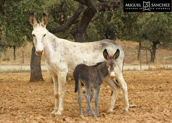 Andalusian donkey The Andalusian donkey Spanish Asno Andaluz is a breed of domestic