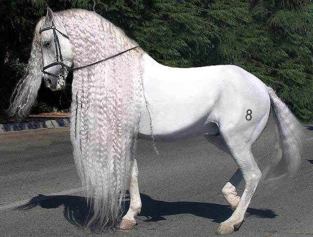 Andalusian horse 1000 ideas about Andalusian Horse on Pinterest Free horses Horse