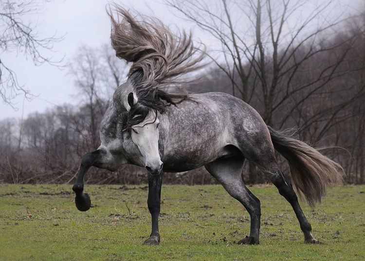 Andalusian horse 1000 images about Andalusian Horses on Pinterest How to braid