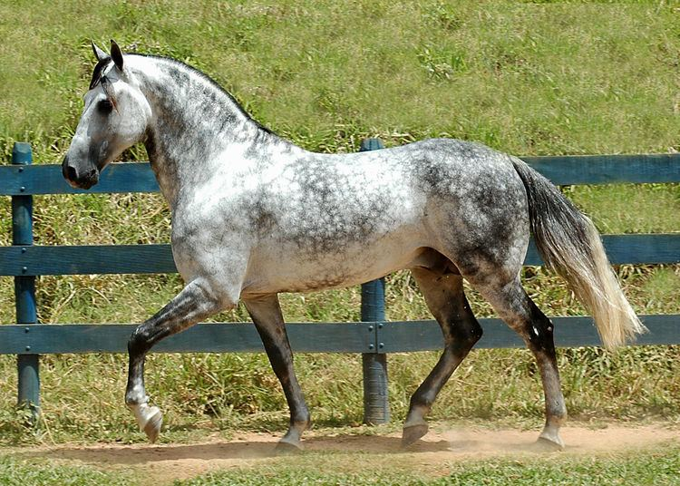 Andalusian horse Finesse and power The Andalusian horse Equestrian from Crete
