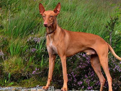 Andalusian Hound Andalusian Hound breed information Pictures