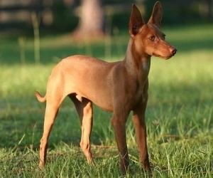 Andalusian Hound Podenco Andaluz Andalusian Hound