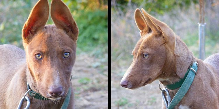 Andalusian Hound wwwdogbreedslistinfouploadsallimgdogpictures