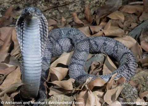 Andaman cobra indiansnakesorgsitesdefaultfilesstyleslarge