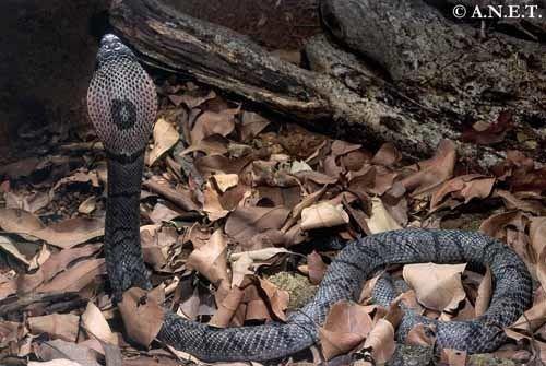 Andaman cobra Andaman amp Nicobar Snakes Naja sagittifera Andaman Cobra