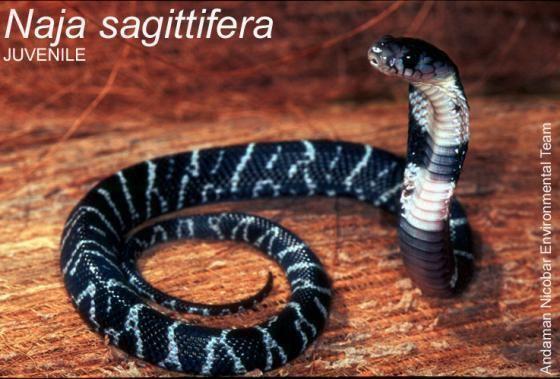Andaman cobra Naja sagittifera The Reptile Database