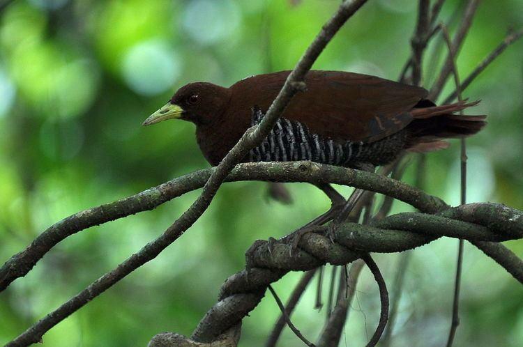 Andaman crake Andaman crake Wikipedia