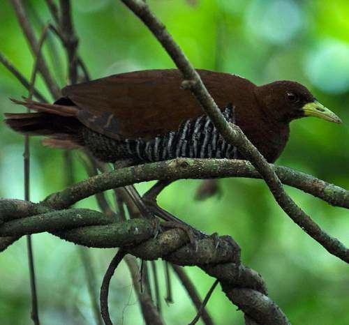 Andaman crake Andaman crake Birds of India