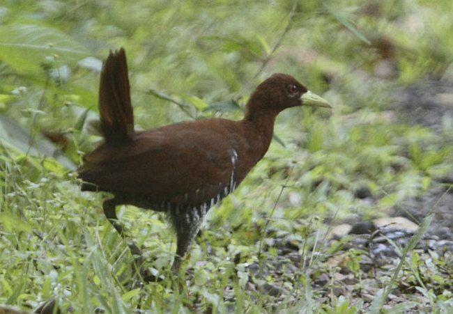 Andaman crake Oriental Bird Club Image Database Andaman Crake Rallina canningi