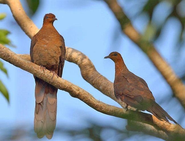 Andaman cuckoo-dove orientalbirdimagesorgimagesdataj3c049916pairjpg