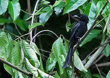 Andaman drongo httpsuploadwikimediaorgwikipediacommonsthu