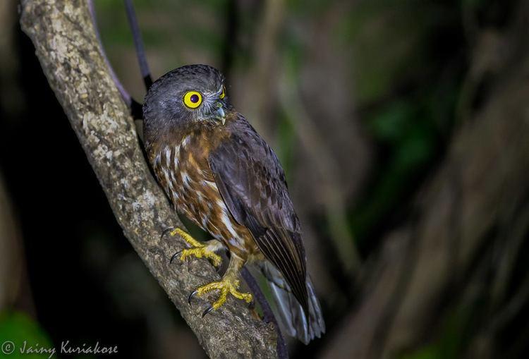 Andaman hawk-owl Andaman Hawk Owl