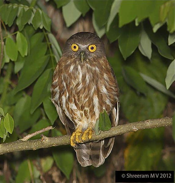 Andaman hawk-owl Oriental Bird Club Image Database Andaman Boobook Ninox affinis