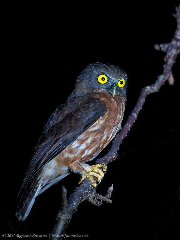 Andaman hawk-owl Andaman Hawk Owl Ninox affinis Picture 1 of 2 The Owl Pages