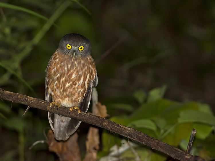 Andaman hawk-owl Andaman Hawk Owl An Andaman Endemic