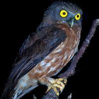 Andaman hawk-owl wwwowlpagescomowlsspeciesimagesandamanhawk