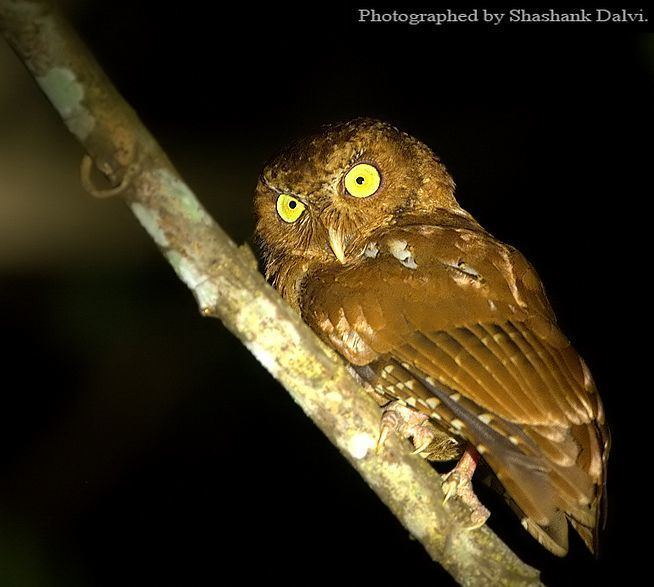 Andaman scops owl Oriental Bird Club Image Database Photographers