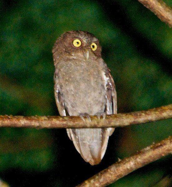Andaman scops owl Oriental Bird Club Image Database Andaman Scops Owl Otus balli