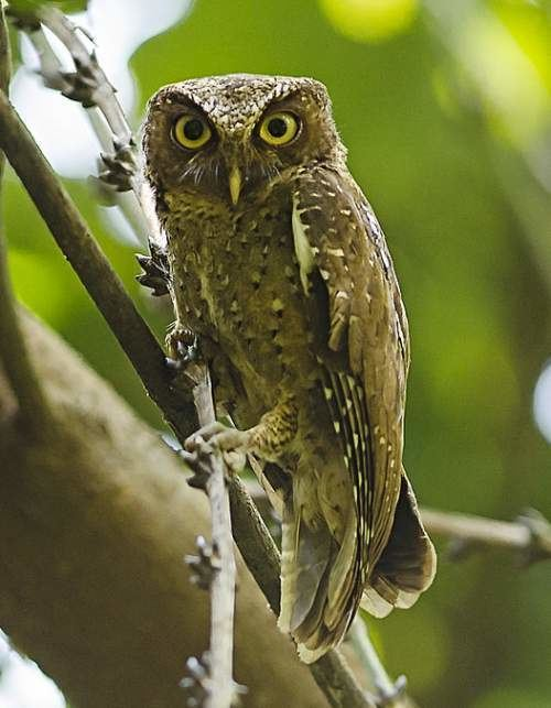 Andaman scops owl Andaman scops owl Birds of India