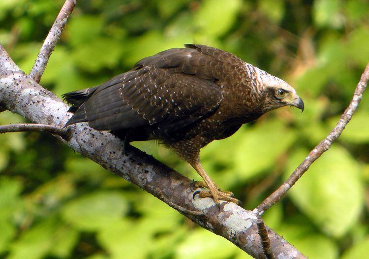 Andaman serpent eagle Andaman Serpent Eagle ShortwingShortwing