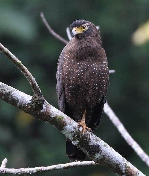 Andaman serpent eagle Oriental Bird Club Image Database Andaman Serpent Eagle