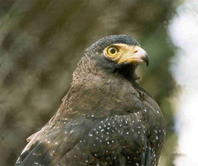 Andaman serpent eagle Oriental Bird Club Image Database Photographers