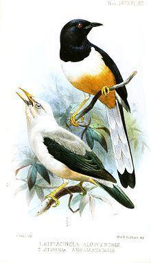 Andaman shama httpsuploadwikimediaorgwikipediacommonsthu